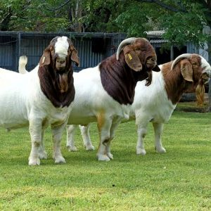 Prices of Goats In Nigeria (Boer Goats)