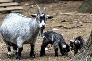 pygymy Goats
